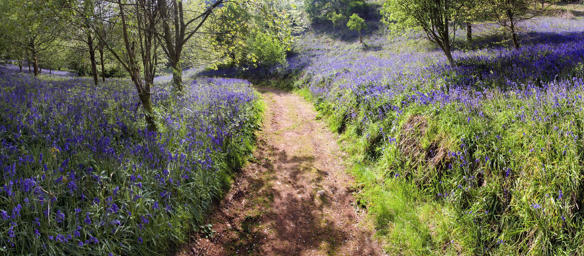 BLUEBELLS IN WOOD © Davidmartyn | Dreamstime.com