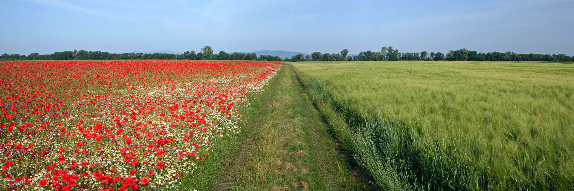 POPPY FIELD 3 © Richard Kittenberger | Dreamstime.com